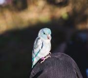 Голубая и белая птица на Person& x27; колено s Стоковая Фотография