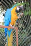 Голубая и желтая ара есть плодоовощ Стоковая Фотография RF