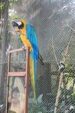 Голубая и желтая ара есть плодоовощ Стоковые Изображения