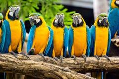 Голубая и желтая ара Стоковое фото RF