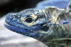 Голубая и желтая ящерица Стоковые Фотографии RF