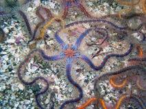 Голубая и коричневая колючая хрупкая звезда Стоковая Фотография