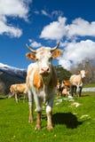 голубая корова cows лето неба темного выгона ландшафта сельское вниз Стоковое Изображение