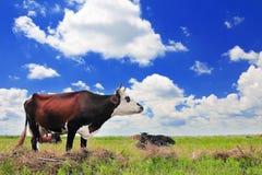 голубая корова cows лето неба темного выгона ландшафта сельское вниз Стоковая Фотография RF