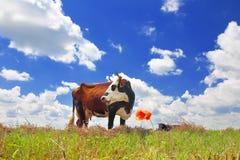 голубая корова cows лето неба темного выгона ландшафта сельское вниз Стоковое Изображение RF