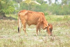 голубая корова cows лето неба темного выгона ландшафта сельское вниз Стоковые Фотографии RF