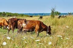 голубая корова cows лето неба темного выгона ландшафта сельское вниз Стоковые Изображения