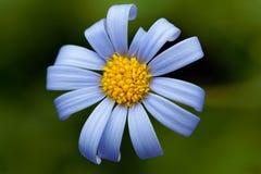 Голубая маргаритка Стоковая Фотография