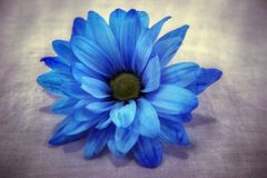 голубая маргаритка стоковое изображение