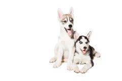 голубая милая собака eyes осиплый изолированный маленький сибиряк 2 щенка Стоковые Изображения