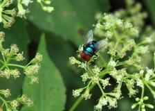 Голубая муха стоковая фотография rf