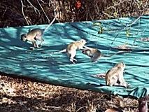 голубая обезьяна Стоковое Изображение