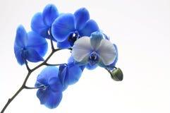 Голубая орхидея цветка стоковые фотографии rf