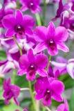 голубая орхидея Стоковая Фотография