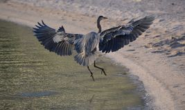 Голубая посадка цапли на пляже койота в Нижней Калифорнии del Sur, Мексике Стоковые Изображения