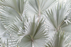 Голубая предпосылка пальмы bismarck Стоковая Фотография RF