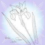 Голубая предпосылка с iries одним Стоковые Изображения RF
