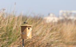 Голубая птица ласточки дерева Стоковая Фотография RF