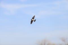Голубая птица ласточки дерева Стоковое Фото