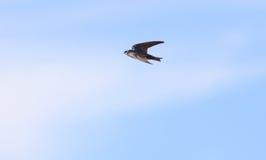 Голубая птица ласточки дерева Стоковые Изображения