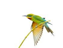 Голубая птица волнистых попугайчиков стоковое изображение rf