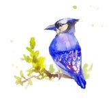 Голубая птица в акварели Myophonus Эскиз нарисованный рукой голубого bi Стоковые Фотографии RF