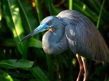 Голубая птица цапли стоковые изображения rf