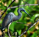 Голубая птица цапли Стоковые Фотографии RF