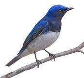 Голубая птица Стоковые Изображения