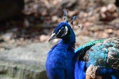 Голубая птица стоковое изображение