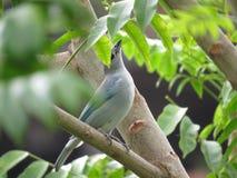 Голубая птица - Thaurapis Стоковые Изображения RF