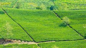 Голубая плантация чая косоугольника на горном склоне Стоковое Изображение