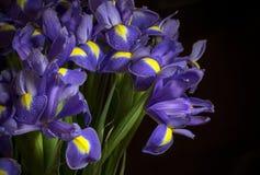 Голубая радужка с падениями росы Стоковые Изображения