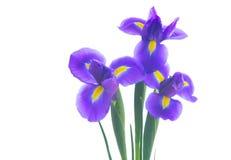 голубая радужка цветков Стоковые Изображения RF