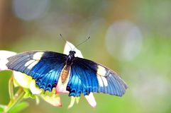 Голубая радужная бабочка Стоковое фото RF
