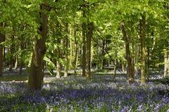 Голубая древесина колокола стоковое изображение