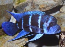 Голубая рыба с большим ртом плавает в тропических морях 3 Стоковая Фотография RF