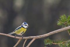 Голубая синица в дереве стоковые фотографии rf