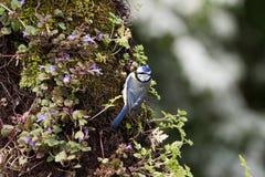 Голубая синица на окуне Стоковые Изображения