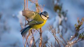 Голубая синица садить на насест на ветви Стоковые Фото