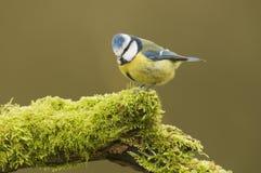 Голубая синица; (Caeruleus Cyanistes) садить на насест на журнале Стоковое Изображение