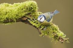 Голубая синица; (Caeruleus Cyanistes) садить на насест на журнале Стоковое Изображение RF