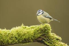 Голубая синица; (Caeruleus Cyanistes) садить на насест на журнале Стоковая Фотография