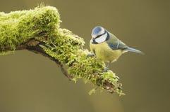 Голубая синица; (Caeruleus Cyanistes) садить на насест на журнале Стоковые Фотографии RF