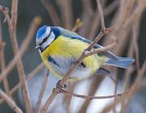 Голубая синица (caeruleus Cyanistes) Стоковое Фото