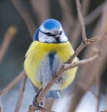 Голубая синица (caeruleus Cyanistes) Стоковое Изображение