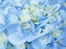 Голубая сирень зацветая в саде Стоковая Фотография RF