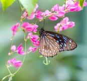 Голубая стекловидная бабочка тигра в саде Стоковые Фото