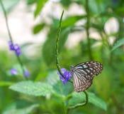 Голубая стекловидная бабочка тигра в саде Стоковые Изображения RF