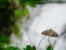Голубая стекловидная бабочка тигра в саде Стоковое фото RF